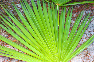 A saw palmetto plant